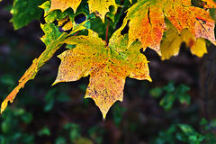 Colorful maple leaves in autumn Stock Images
