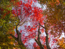 Colorful Maple leaves in autumn Royalty Free Stock Image