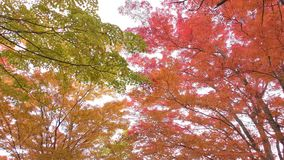 Colorful maple leaves stock video