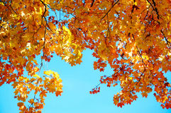 Colorful maple leaves with blue sky background Stock Images