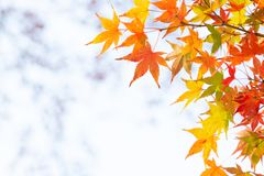 Colorful maple leaves on branch with copy space royalty free stock photos
