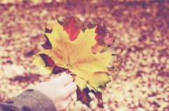 Colorful maple leaves bunch in woman's hands. Red and yellow fall maple leaves bunch in woman's hands Stock Photography