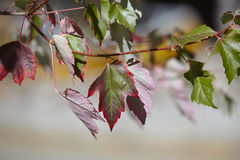 Colorful maple leaves Royalty Free Stock Images