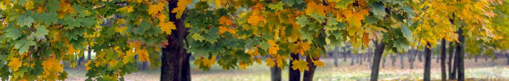Colorful maple leaves on cloudy autumn day stock photography