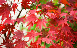 Colorful maple leaves at fall Royalty Free Stock Image