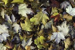 Colorful maple leaves on the forest floor stock images