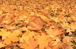 Colorful maple  leaves. Many colorful maple leaves on the ground Royalty Free Stock Images