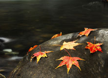Colorful maple leaves on the rock. In Taiwan Stock Photography