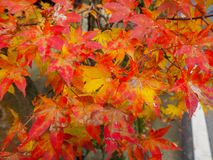 Colorful maple leaves royalty free stock photo