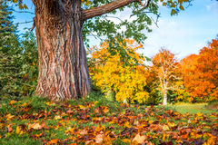 Colorful maple leaves under a tree Royalty Free Stock Photography