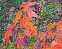 Vibrant Fall Leaves Royalty Free Stock Image