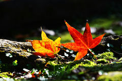 Colorful maple leaves. Beside the wood in Taiwan Royalty Free Stock Photo