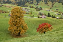Colorful maple and pear tree on a green meadow near Gstaad Stock Photos