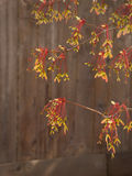 Colorful maple seed pods in spring Stock Image