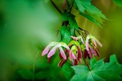 Maple Seeds in Summer. Colorful Maple seeds on the tree in Summer stock photos