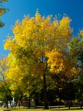 Colorful maple tree. In autumn Stock Image