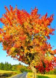 Colorful maple tree beside the asphalt road autumn / fall daylight. Sky, red leafs,sunlight,sunshine. Countryside magical landscape.Relaxing nature royalty free stock image