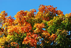 Colorful Maple Tree in Autumn Royalty Free Stock Image