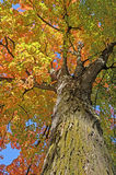 Colorful Maple Tree Royalty Free Stock Image