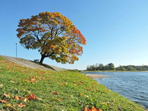 Colorful maple tree in autumn, Lithuania Stock Photo