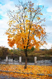 Colorful maple tree in the autumn park. Royalty Free Stock Photo
