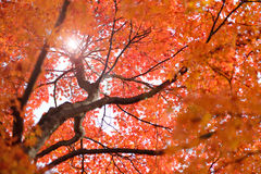 Colorful maple tree in autumn Stock Photography