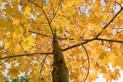 Clorful maple tree Royalty Free Stock Images