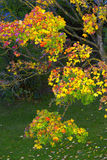 Colorful maple tree. Royalty Free Stock Image