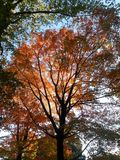 Colorful Maple Tree Leaves in Central Park. Stock Photography