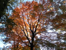 Colorful Maple Tree Leaves in Central Park. Royalty Free Stock Images