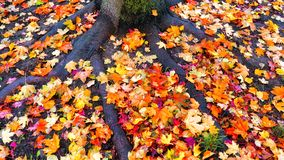 Free Colorful Maple Tree Leaves On Ground On Mossy Roots Stock Photos - 160348263