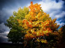 Colorful maple tree beside a meadow at autumn / fall daylight stock photo