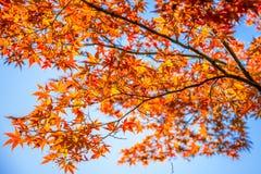 Colorful maple tree at Tofukuji Temple,Japan at Kyoto,Japan Royalty Free Stock Images