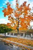 Colorful maple trees in the autumn park. Stock Image