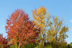 Colorful Maple Trees in the Fall Royalty Free Stock Image
