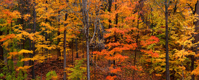 Colorful Maple trees. Panoramic view of colorful maple trees in autumn time Royalty Free Stock Photography