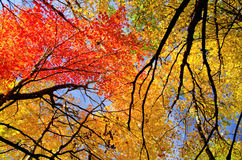 Colorful maple treetops, autumn Royalty Free Stock Photo