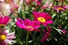 Colorful marguerite Robinson`s red - red flower daisy marguerite stock images
