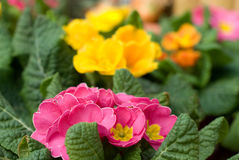 Colorful marigold flowers. Colorful pink and yellow marigold flowers with green leaves blooming in flowerbed stock photos
