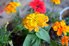 Colorful Marigold Flowers in Bloom Stock Images