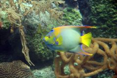 Colorful Marine Angel fish. Side view of colorful marine angelfish with tropical underwater reef in background Royalty Free Stock Images