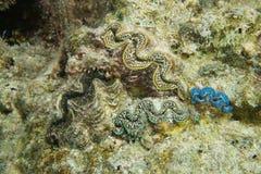 Colorful marine bivalve molluscs maxima clam. Colorful marine bivalve molluscs underwater, maxima clam, Tridacna maxima, Pacific ocean, Bora Bora, French Royalty Free Stock Images