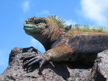 Colorful Marine Iguana On Rock. A marine iguana (amblyrhyncus cristatus) on a rock is outlined against the sky. The colors are particular to males in the royalty free stock image