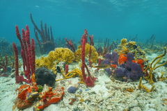 Colorful marine life underwater on the seabed. Colorful marine life underwater composed by sponges and fire coral on the seabed of the Caribbean sea Royalty Free Stock Photography