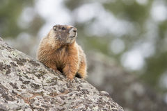 Colorful marmot sitting on rock Royalty Free Stock Photo