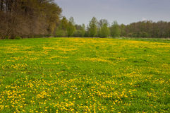 Colorful meadow with flowering dandelions Stock Photos