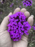 Colorful Mexican fleabane flower, aster ericoides flower blooming on bush in the garden stock photo