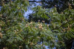 Mimosa Tree in Bloom. Colorful mimosa or silk tree in full bloom stock photography