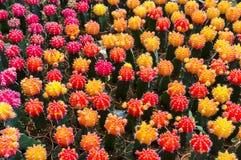 Colorful mini cactus Stock Photo