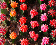 Colorful mini cactus Stock Photos